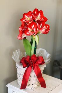 Potted Amaryllis plant